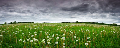 field-dandelions-panoramic-view-to-white-57739906